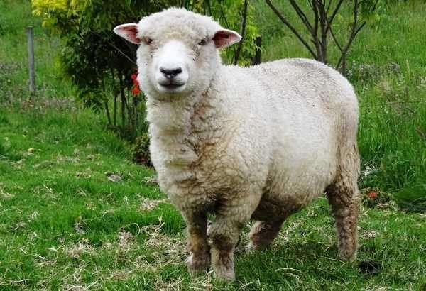 oveja carnero