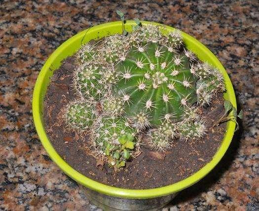 Cactus echinopsis oxigona maceta 12 lleno de hijos