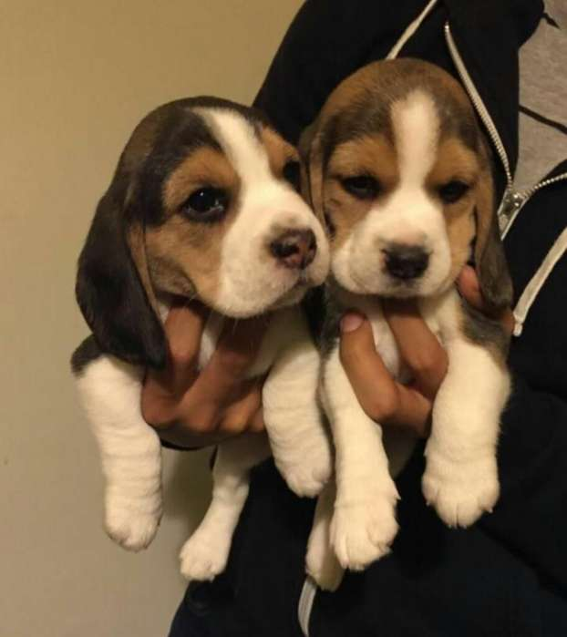 Divinos <strong>beagle</strong>