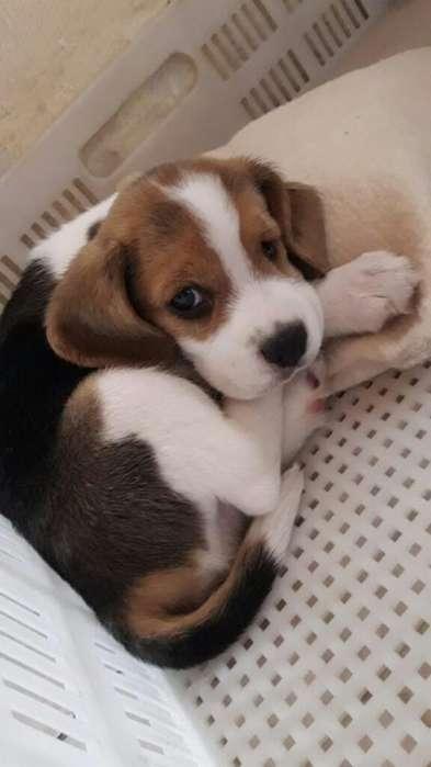 <strong>beagle</strong> Macho
