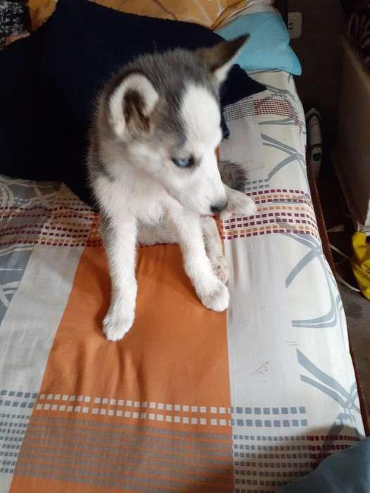 Hermosa Cachorita Husky