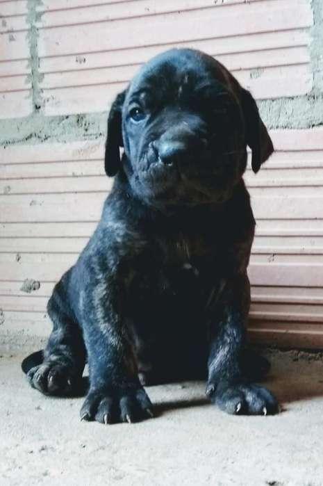 Hermosos <strong>cachorro</strong>s Rasa Fila Brasilero
