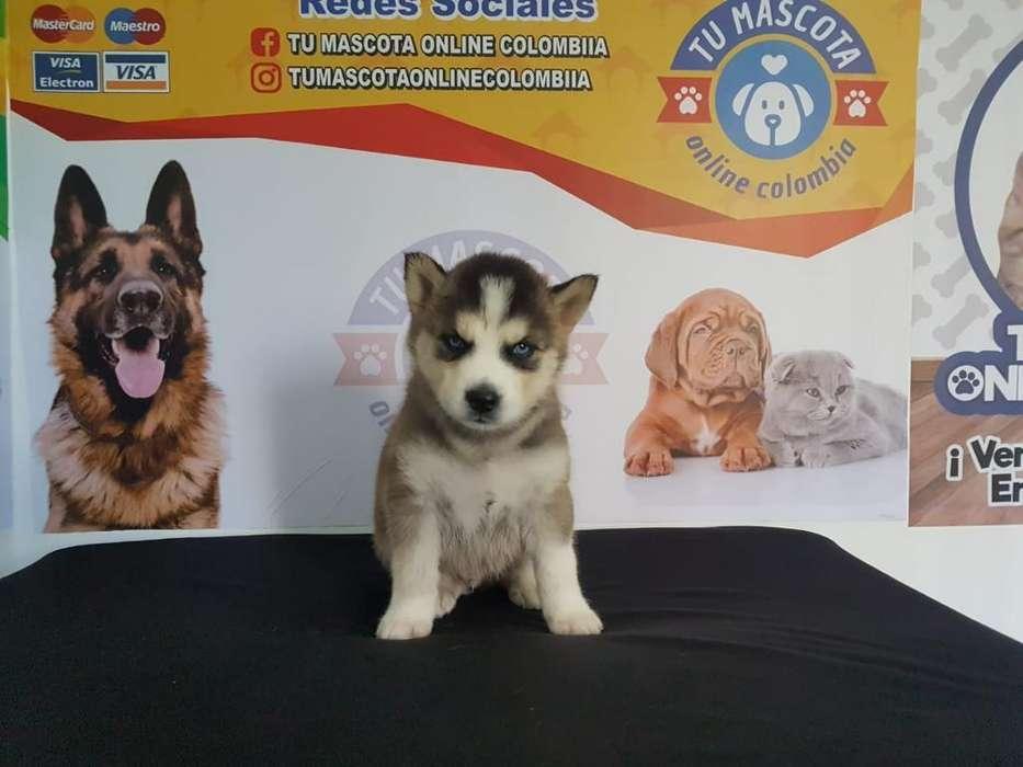 Magnificos Husky Siberianos Cachorros