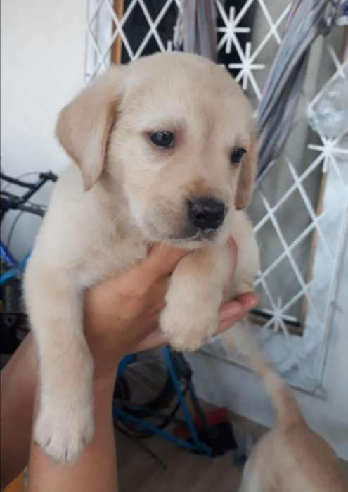 <strong>cachorro</strong> Labrador 0968200110