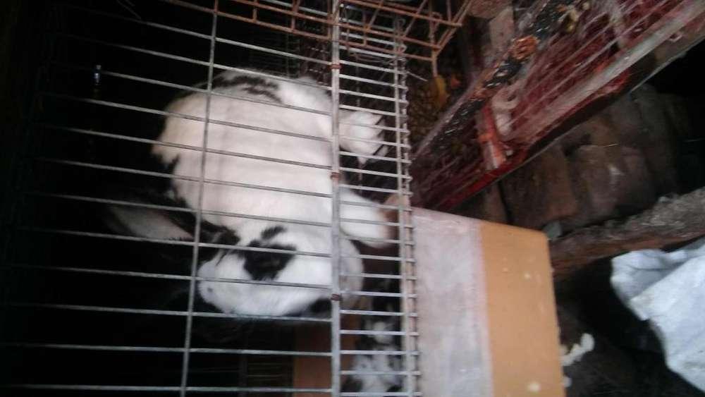 hermosos conejos de 2 meses arlequingigantes a 400 pesos.