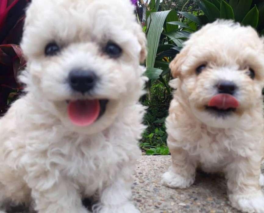 Poodle Teacup Y Poodle Toy Cachorros