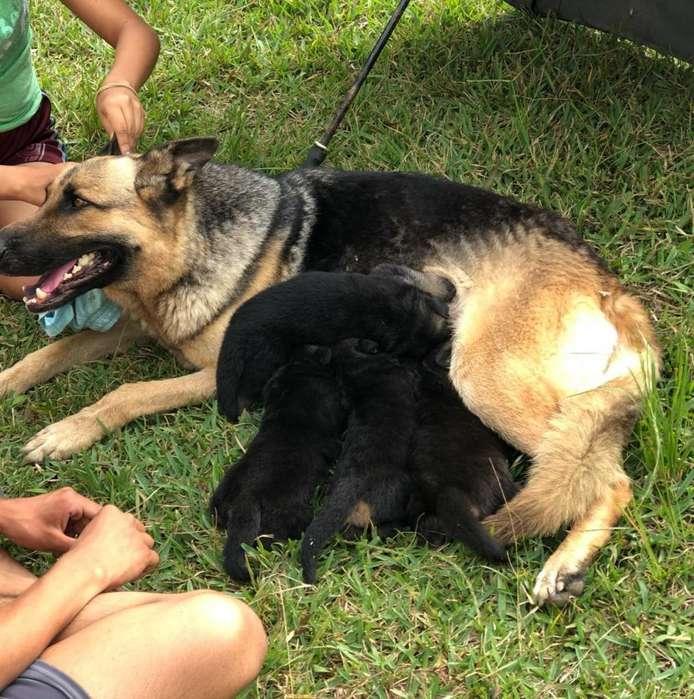 Cachorros Pastor Aleman.