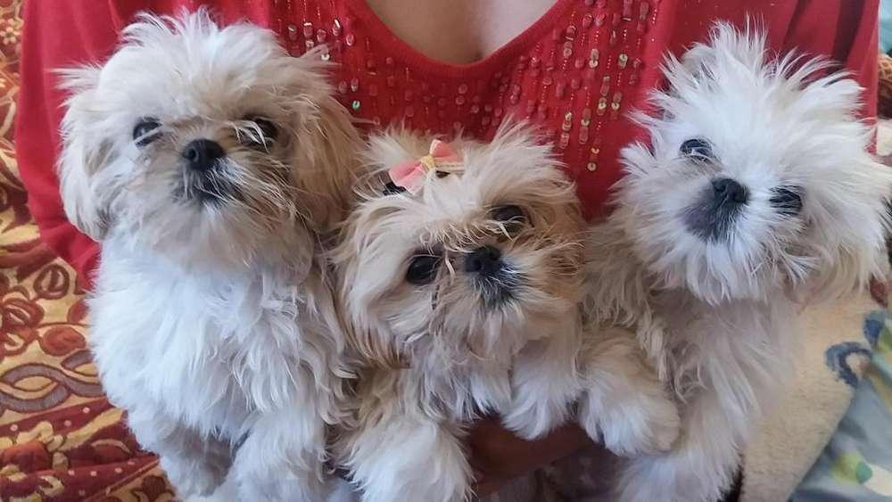 Hermosos cachorritos Shitzu puras de raza muy pequeños
