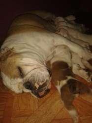 VENDO BULL DOG INGLES
