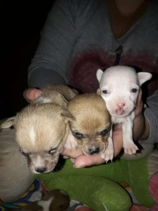 Chihuahuas Macho Y Embra 3413621812