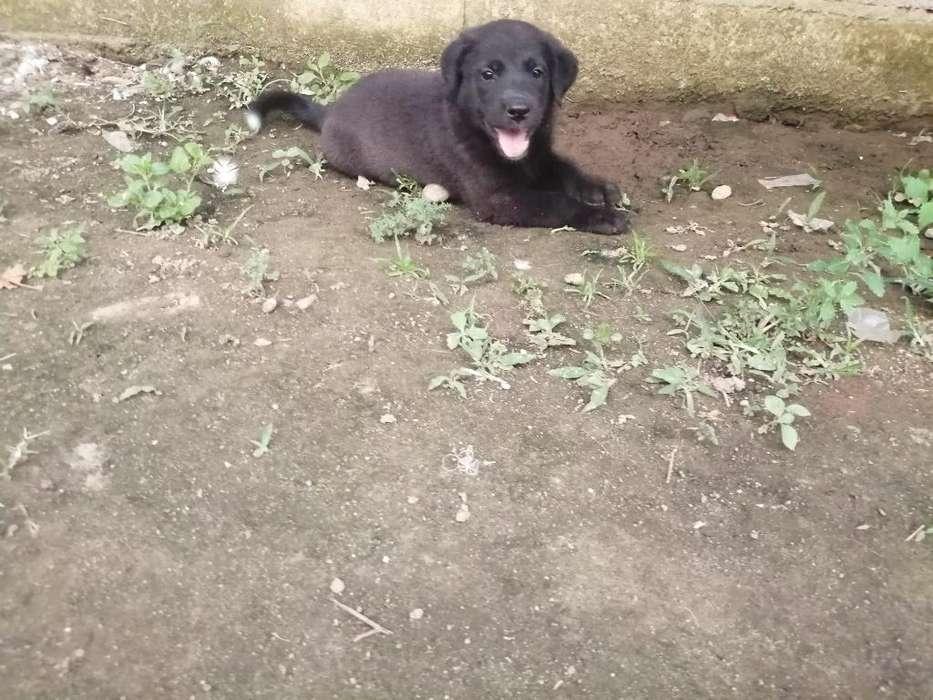 Venta de Cachorros Labradores
