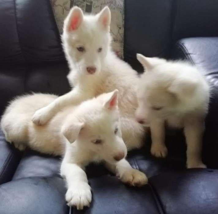 de Exportación Husky Siberianos