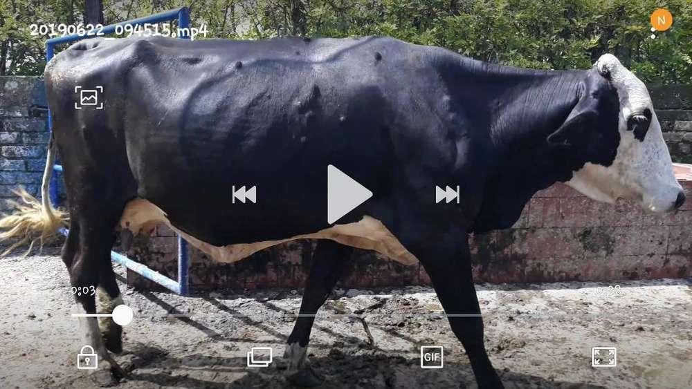 Buenas <strong>vacas</strong> Proximas para Parir