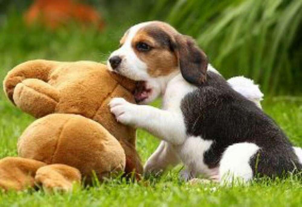 Beagle Hembras