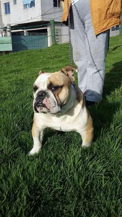 Alquilo Bulldog Ingles para Monta