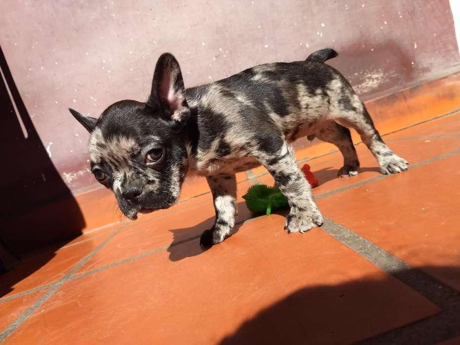 Macho Bulldog Francés Black Merle