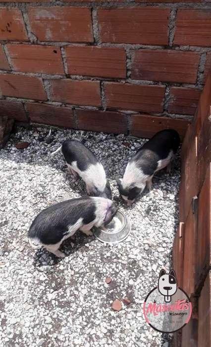 Espectaculares Mini pig Disponibles