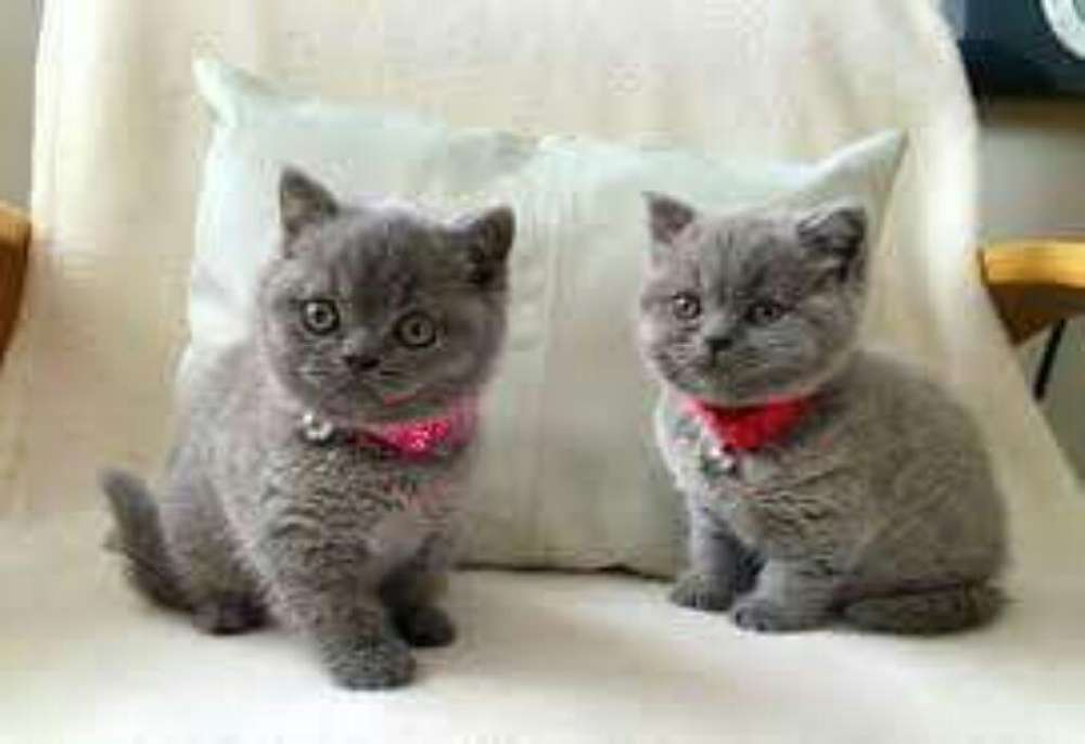 Gatos Siames Ruso Azul Siberiano Otros