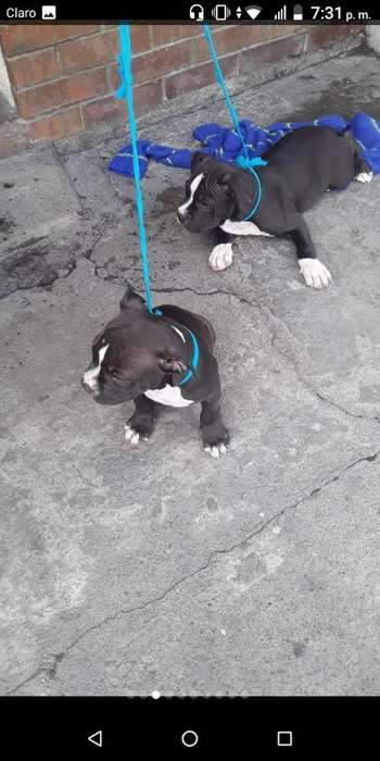 Vendo American Bully Poket