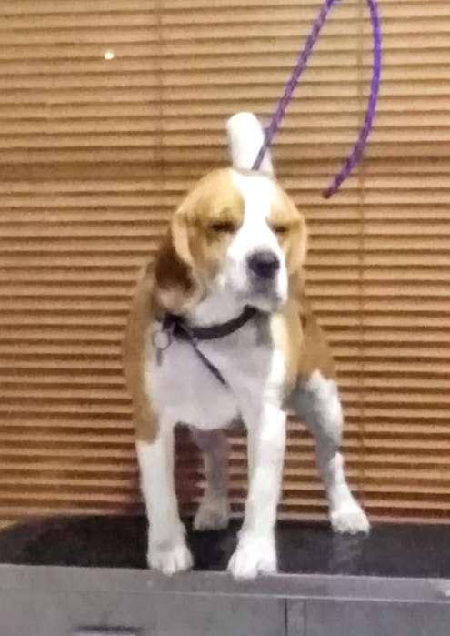 Servicio de Monta O Stud Beagle