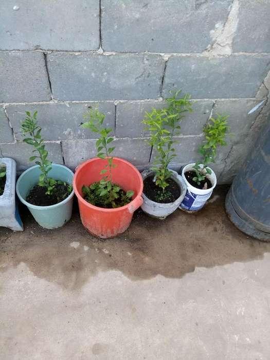 Vendo Plantas de Mandarinas Cada Una 400