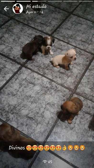 Vendo hermosos cachoritos chiguagua y pequinez