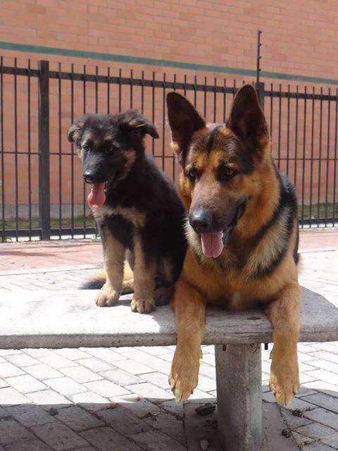 GOLDEN RETRIEVER DOBERMAN LABRADOR PASTOR ALEMAN BULL DOG YORKSHIRE <strong>terrier</strong> COCKER BEAGLE TECKEL POMERANIA HUSKY