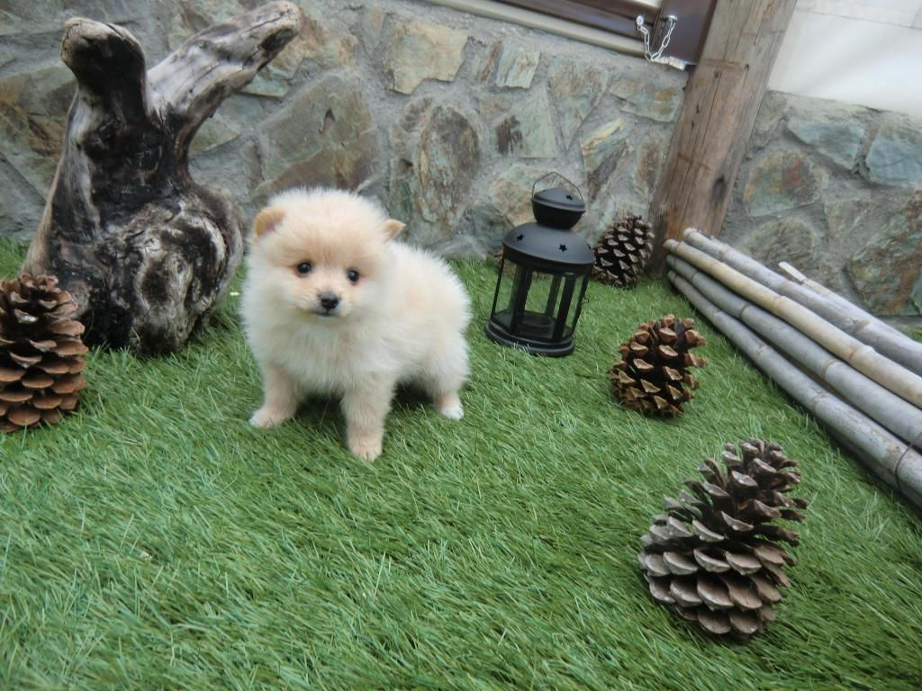 *PET SHOP VENDE POMERANIA *