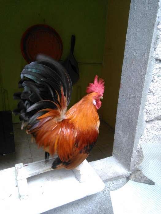 Venta de <strong>gallo</strong> y gallina