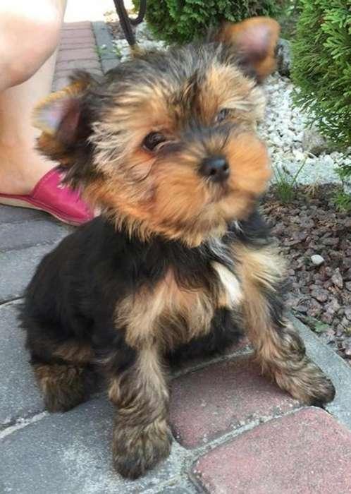 Recibo en Adopción Perro Pequeño