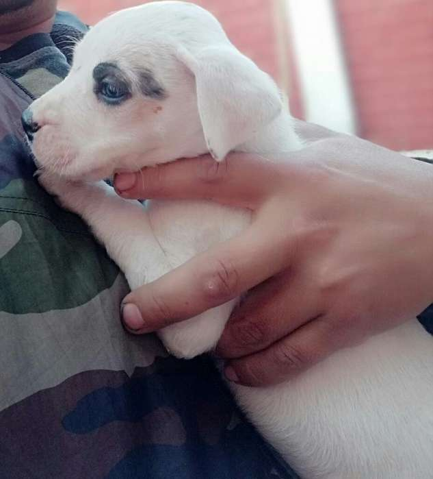 Se Vende <strong>cachorro</strong>s Dogo Argentino