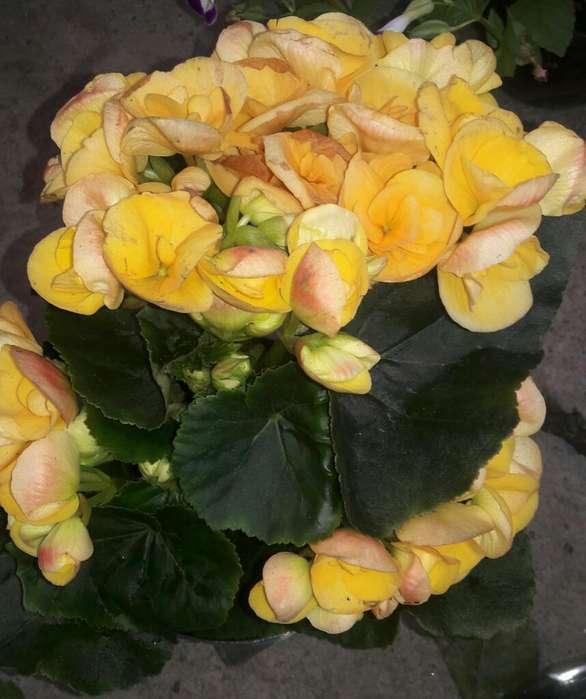 Begonia Elatior