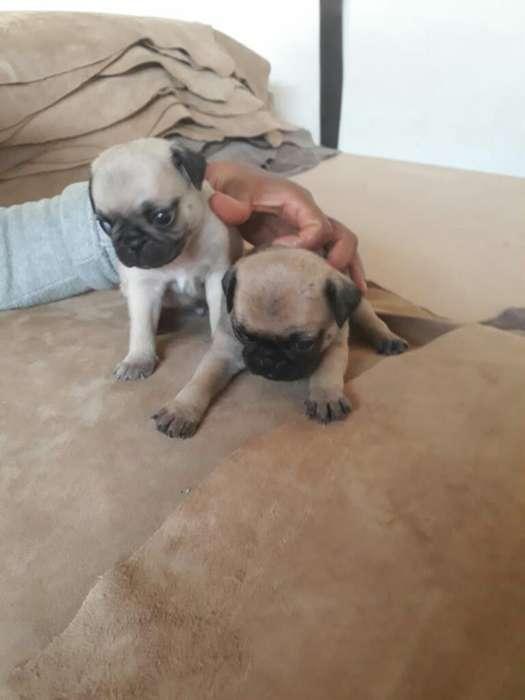 Se Vende <strong>cachorro</strong>s Pug Carlino Puros