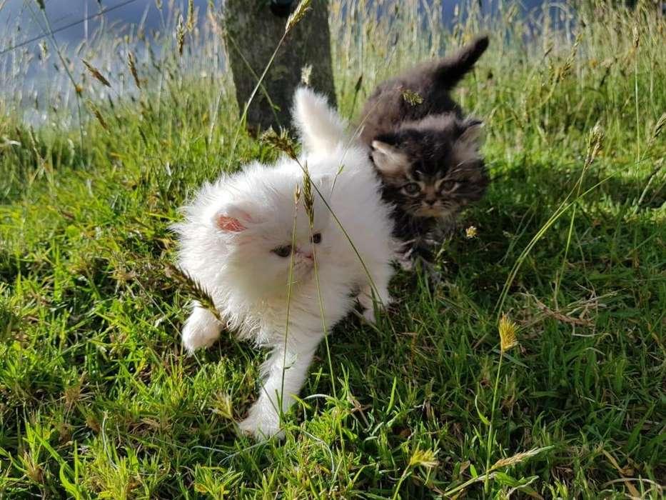 <strong>gato</strong>S PERSAS