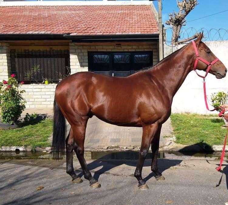 Hermoso caballo 5 años hijo d POLLARD'S VISION (USA)