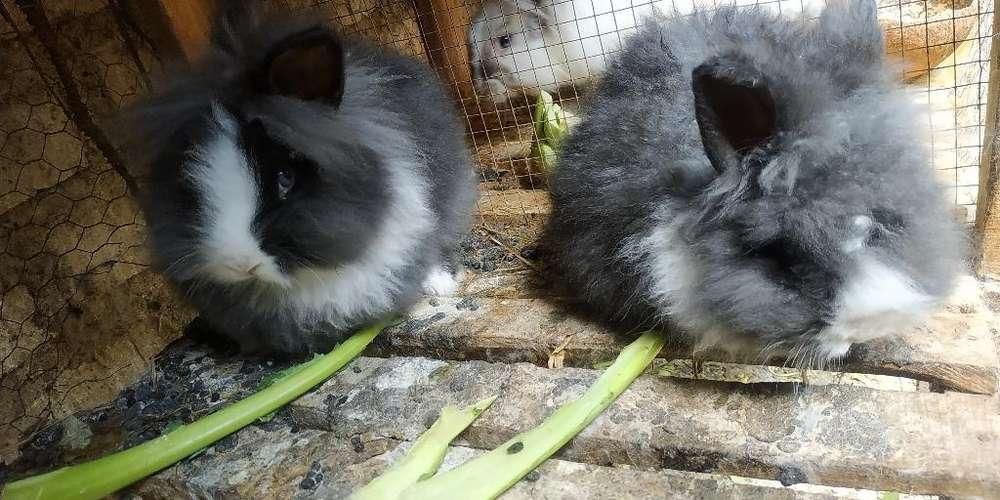 Conejos Angora Y Cabeza de León