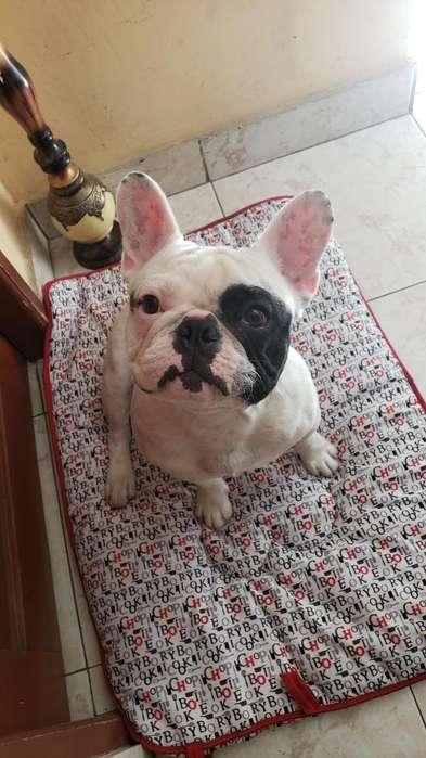 <strong>bulldog</strong> Frances para Monta