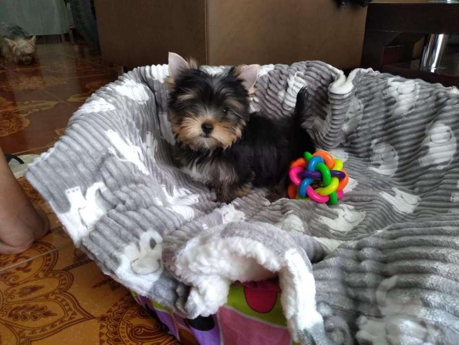 Hermosos <strong>cachorro</strong>s Yorkshire Terrier