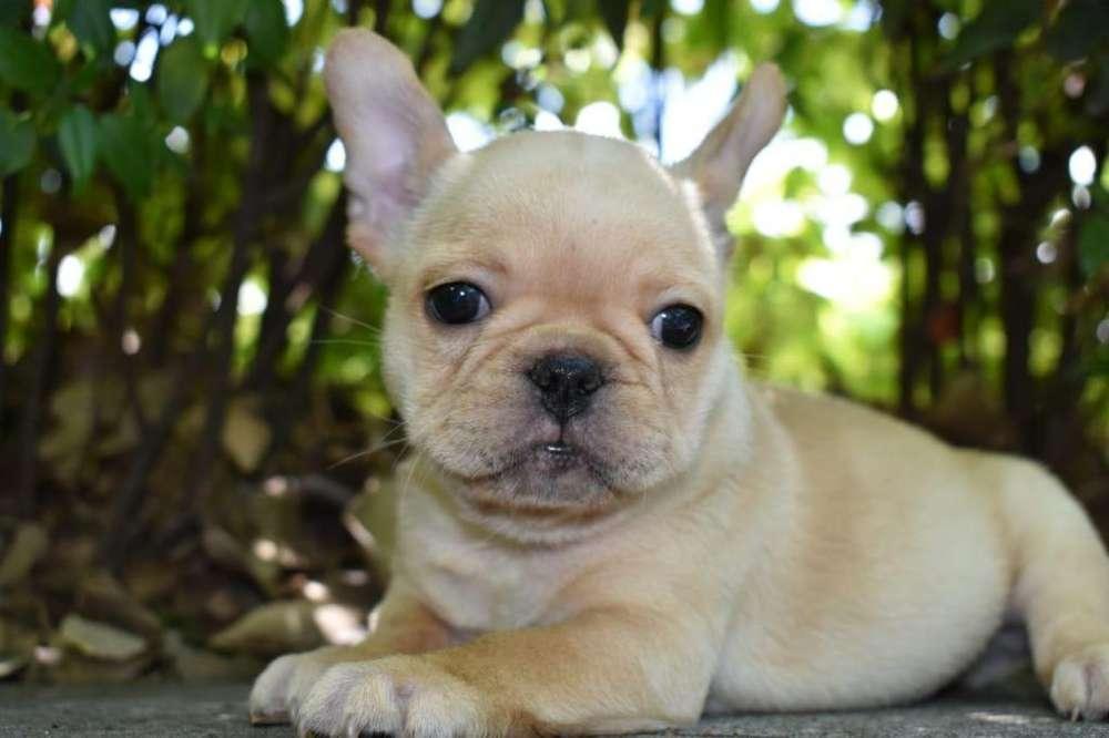 Cachorro <strong>bulldog</strong> Frances Hembra Fawn Criadero El Arca Del Frances