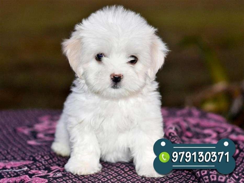 Cachorros Bichon Maltes - Envios Nacionales - Garantia de Raza y Salud