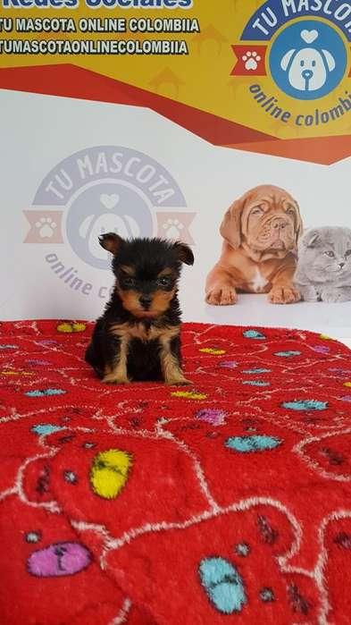 Peludito Yorkshire <strong>terrier</strong> Tacita Mini Grandioso