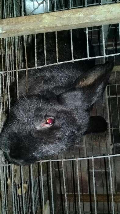 Conejos Gigantes de Flandes 7 Meses
