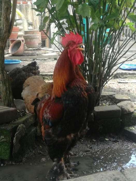 Hermosos <strong>gallo</strong>s Baratos