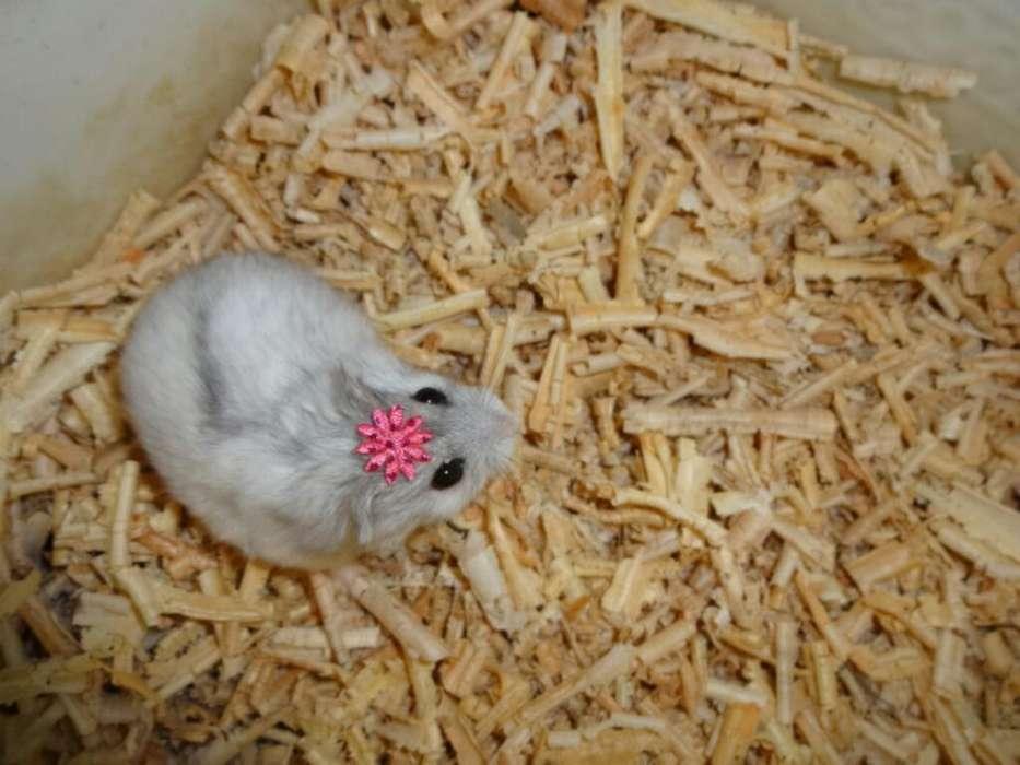 Hamster Hangora, Ruso, Dorado, Sirio