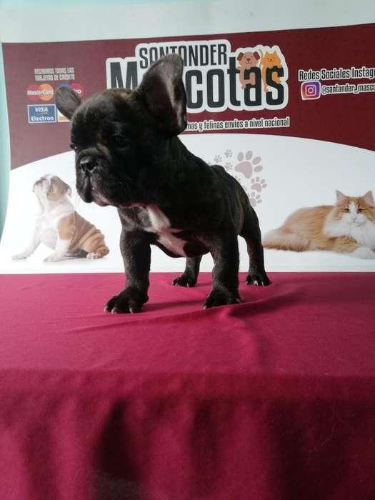Bulldog Francés Hermoso <strong>cachorro</strong> Chatico