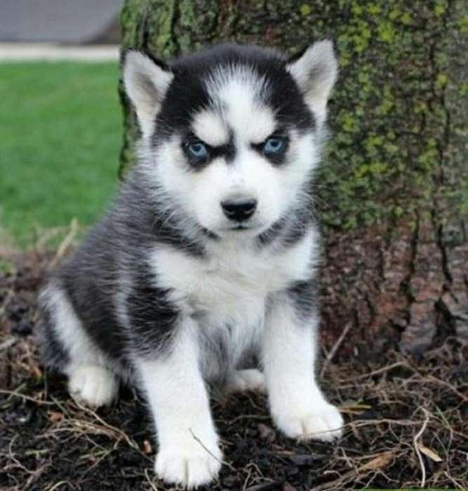 Husky Siberiano Ojos Azules Raza Pura