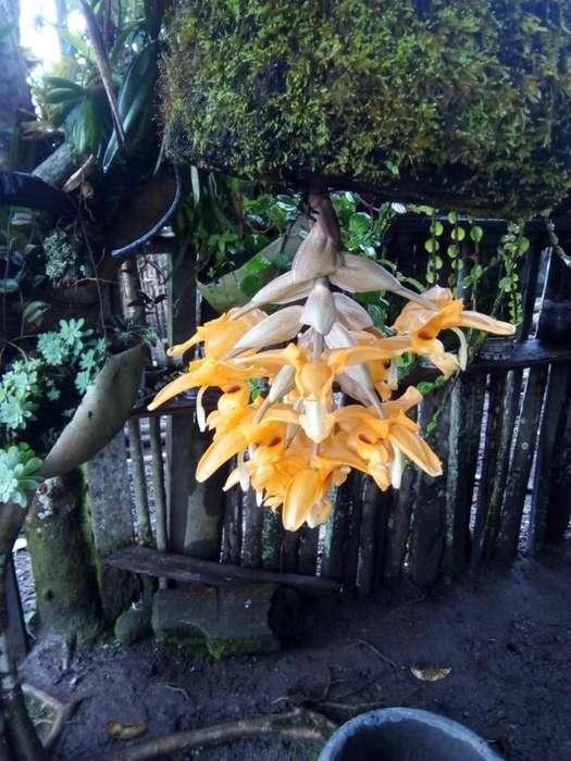 Venta de Orquidea Amazonas