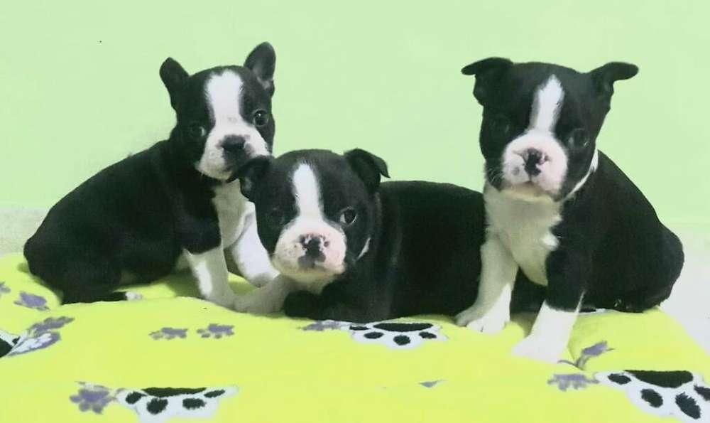 Lindos Boston <strong>terrier</strong> a La Venta