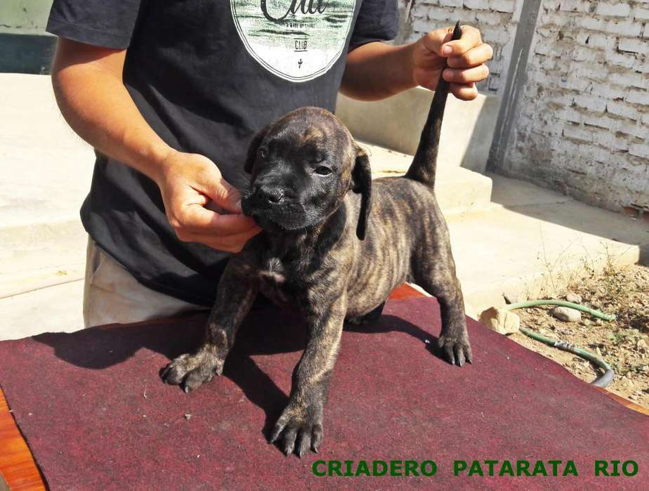 CACHORROS DOGO CANARIO