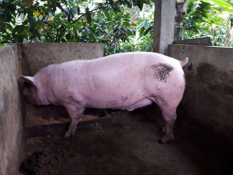 Cerdo de 400 Libras